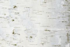 The birch bark texture or background stock photography