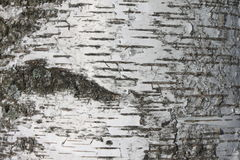 Birch bark texture background paper close up Stock Photo