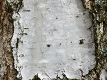 Birch bark texture background paper close up Royalty Free Stock Images