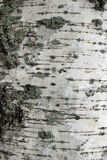 Birch bark texture Royalty Free Stock Photo
