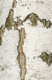 Birch bark texture Stock Photo