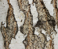 Birch bark Royalty Free Stock Image