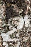Old birch bark with cracks and stripes close-up royalty free stock photography