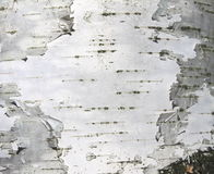 Birch bark texture natural background paper close-up Royalty Free Stock Image