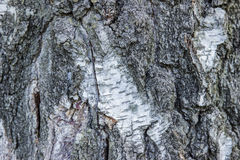 Birch bark texture natural background paper close-up .Birch tree Royalty Free Stock Photo