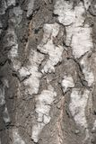 Birch bark texture. Natural background: birch bark, use for illustrations, decorative patterns, textile. Prints stock photo