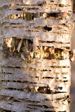 Birch bark texture useful as natural background Stock Photography