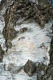 Birch bark texture Royalty Free Stock Image