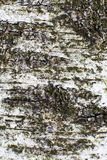 Birch bark. Birch tree in forest close-up Royalty Free Stock Image