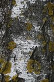 Birch. Bark of a tree with lichens. royalty free stock images