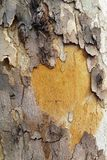 Birch bark tree old texture Stock Photography