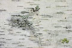 Birch bark Royalty Free Stock Photography