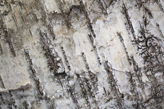 Birch bark stock photography