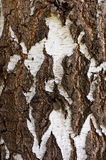 Birch bark white with black Royalty Free Stock Images