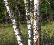 The birch Royalty Free Stock Photography