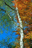 Birch and beech tree in autumn Royalty Free Stock Photos