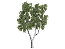 Birch_(Betula) Royalty Free Stock Photo