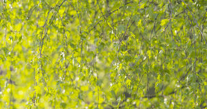 Birch betula dalecarlica leaves sways in spring day. Wide photo Royalty Free Stock Images