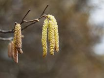 Birch Betula pendula. flower and young leafes stock images