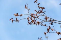 Birch Betula pendula Purpurea in the spring. Against the blue sky stock images