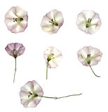 Birch bindweed set dry delicate  leaves and petals of  fresh lig Stock Photography