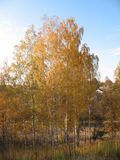 Birch. S with yellow leaves, an autumn is a very beautiful pore of year Stock Photos