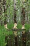 Birch bitten by beavers Royalty Free Stock Photo