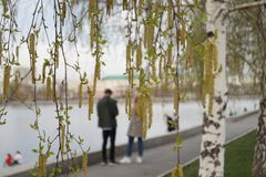Birch blooms in the park at the Drama Theater. The background is blurred. royalty free stock images