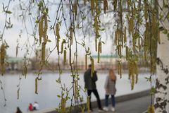 Birch blooms in the park at the Drama Theater. The background is blurred. royalty free stock image