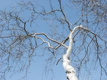 Birch on blue sky background. Birch on the background of a blue sky on a clear winter day. Winter fragmentary landscape Stock Photography
