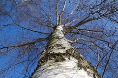 Birch with blue sky. Detail stock photo