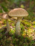 Birch bolete Stock Photos