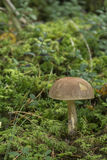 Birch bolete Stock Photography