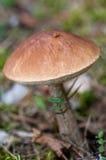 Birch bolete (leccinum scabrum) Stock Image