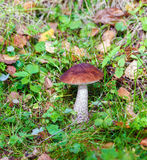 Birch Bolete (Leccinum scabrum) Mushroom in Autumn Forest Royalty Free Stock Images
