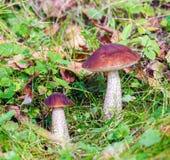 Birch Bolete (Leccinum scabrum) Mushroom in Autumn Forest Stock Photo