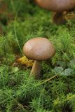 Birch Bolete Royalty Free Stock Photos