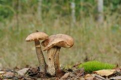 Birch bolete mushroom (Leccinum scabrum) Stock Images