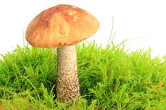 Birch bolete Royalty Free Stock Photography