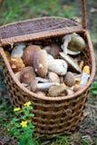 Birch Bolete Mushrooms (Leccinum scabrum) and Boletus edulis  in Royalty Free Stock Photography