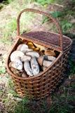 Birch Bolete Mushrooms (Leccinum scabrum) and Boletus edulis  in Royalty Free Stock Images
