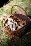 Birch Bolete Mushrooms (Leccinum scabrum) and Boletus edulis  in Stock Photo