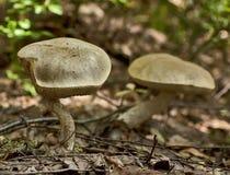 Birch Boletes. Two brown birch bolete mushrooms standing among fallen leaves stock images