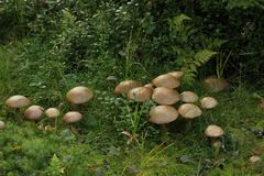 Birch Boletes Stock Photos