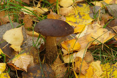 Birch boletus 03 Royalty Free Stock Images