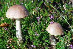 Birch boletus Stock Photo