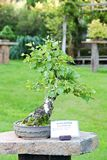 Birch bonsai Royalty Free Stock Image