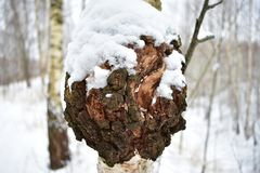 Birch bracket fungus. Winter is pure white snow and trees. Winter in village. Winter certainly pleases stock photos