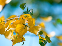 Birch branch. With yellow leafs on a sky background stock photography