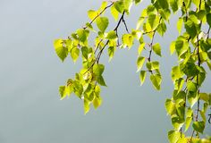 Birch branch. Image of green birch branch with lots of leaves against blue sky Royalty Free Stock Image